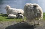 LambSheep6869