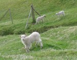 LambsWhite6864