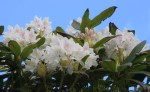 Rhododendron6931