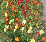 TulipsDaff6832
