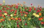 TulipsDaff6833