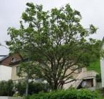 TreesJunSwing7116