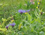 WeedsBlue7522