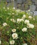 WeedsClover7624