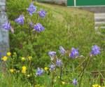 WeedsColumbine7618