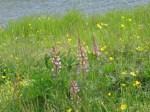 WeedsLupine7518