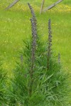 WeedsLupine7646