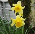 Gdaffodil010