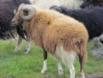 Young brown ram