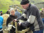 Starting the sheep shearing