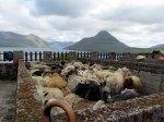 Sheep waiting to be sheared.