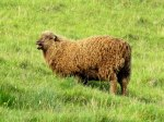 Chocolate brown lamb