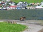 Faroese horse