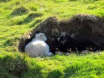 Sheep in a sheltered nook